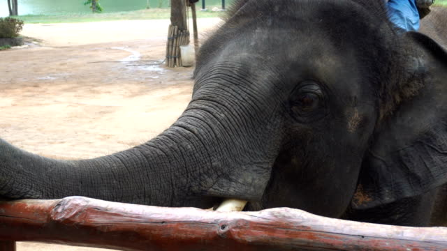 4K CU: Asian Elephant in forest video