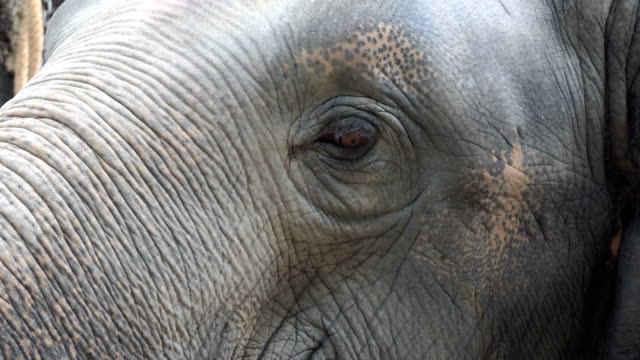 4K CU: Asian Elephant in forest