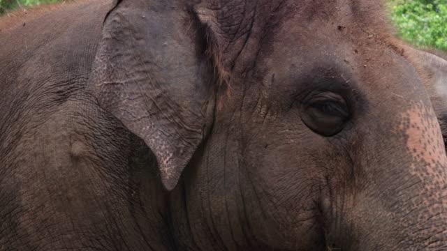 vidéos et rushes de éléphant asiatique - tête d'un animal