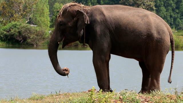 Asian elephant (Elephas maximus) video