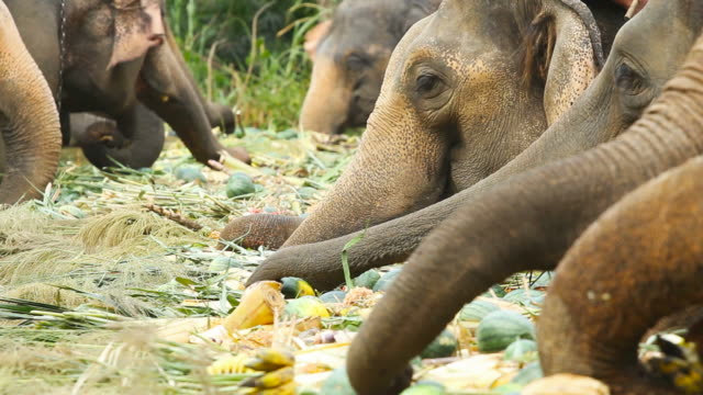 Asian Elephants in Thailand video