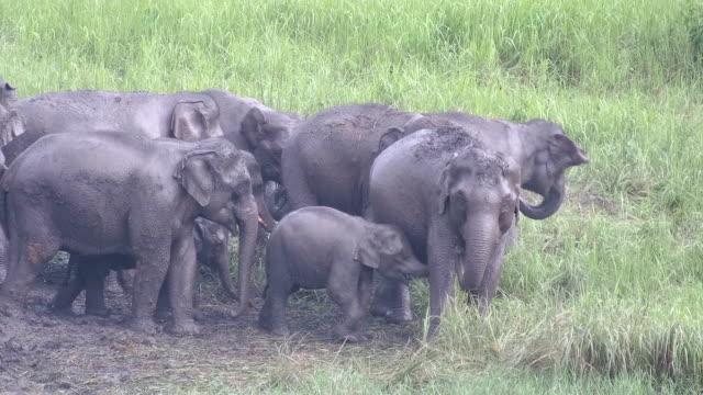 Asian elephants in the wild