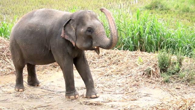 HD: Asian elephants Thailand video