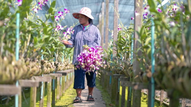 Asian farmer woman harvest and working in orchid farm