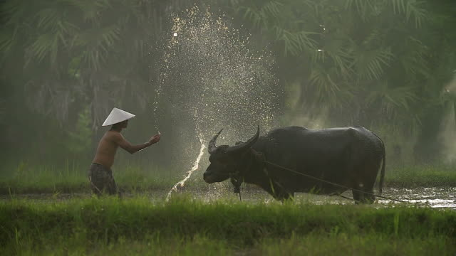 Asian farmers working with Buffalo and his son sitting on a buffalo. Asian farmers working with Buffalo and his son sitting on a buffalo. rice cereal plant stock videos & royalty-free footage