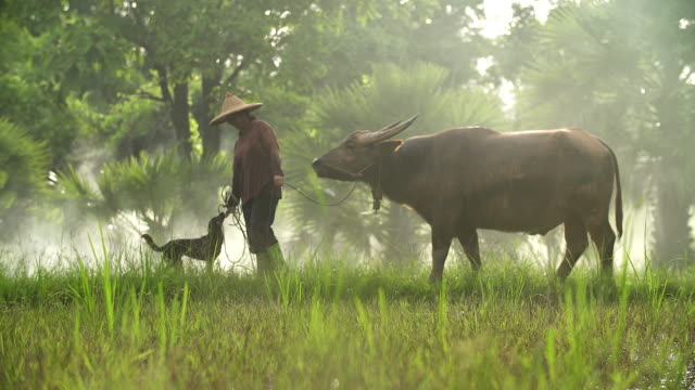 Asian farmers working with her dog and buffalo in the ricefield. video