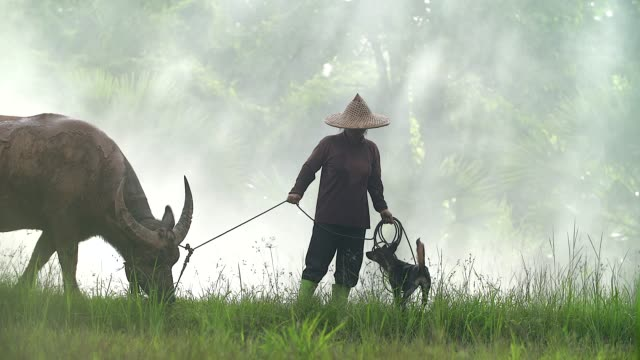 asian farmers working with his dog and buffalo in the ricefield. - sud est asiatico video stock e b–roll