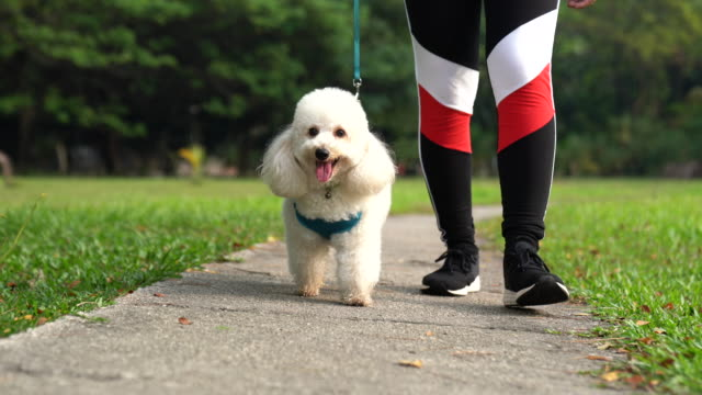 asian female chinese teenager walking with poodle with collar at public park