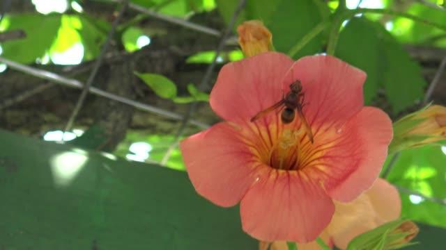vídeos de stock e filmes b-roll de 4k asian giant hornet, vespa mandarinia over orange flower in park of taiwan - velutina