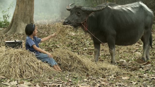Asian girl feeding dry grass to her buffalo at countryside, Countryside Lifestyle concept.