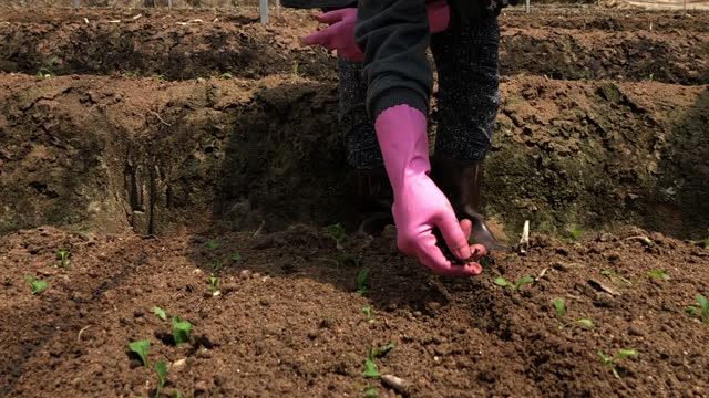 Asian hijab female farmer sowing the seed on soil fields in greenhouse