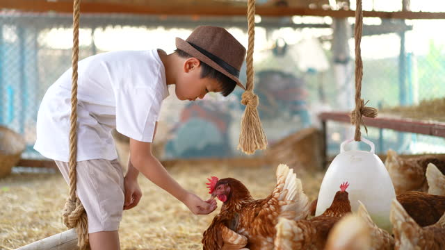 Asian kid play with his pet, chicken at farm. Concept of Friendship and farming