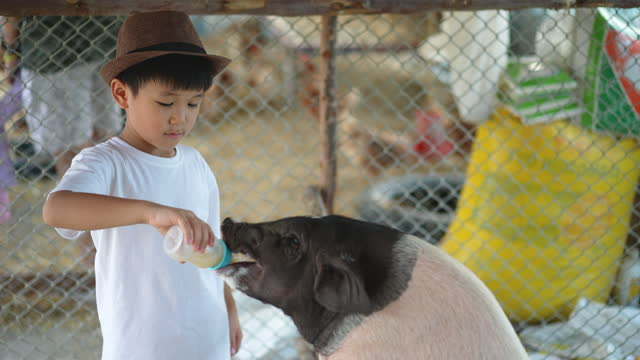 Asian kid play with his pet, pig in the farm. Concept of Friendship