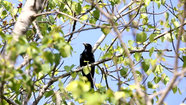 Asian koel ( Eudynamys scolopaceus ) on tree in the forest of Thailand. video