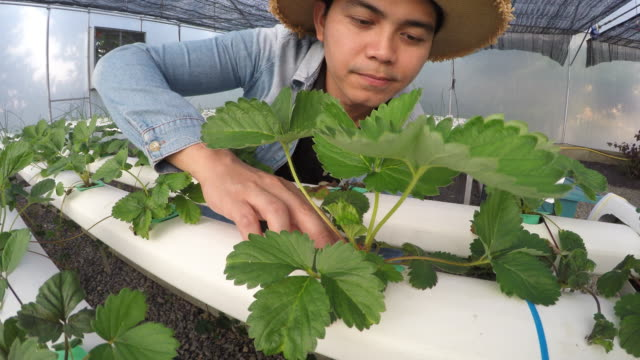 Asian man farmer working in hydroponic greenhouse video