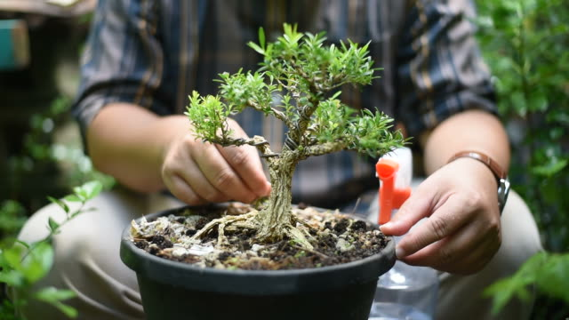 Asian man is taking care his bonsai in the garden.