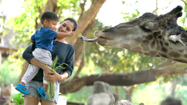Asian mother holding baby boy to feeding Giraffes. 4K stabilized shot Asian mother holding baby boy to feeding Giraffes outdoors. feeding stock videos & royalty-free footage
