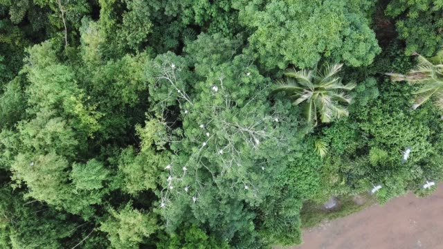 asian openbill fly over the green bush at permatang rawa - arto inferiore animale video stock e b–roll