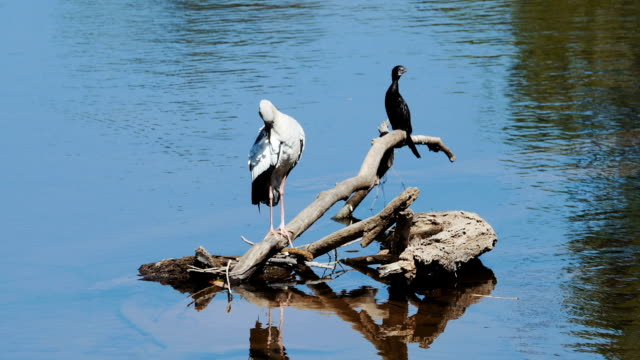 asian openbill stork and black cormorant - lakeshore stock videos & royalty-free footage