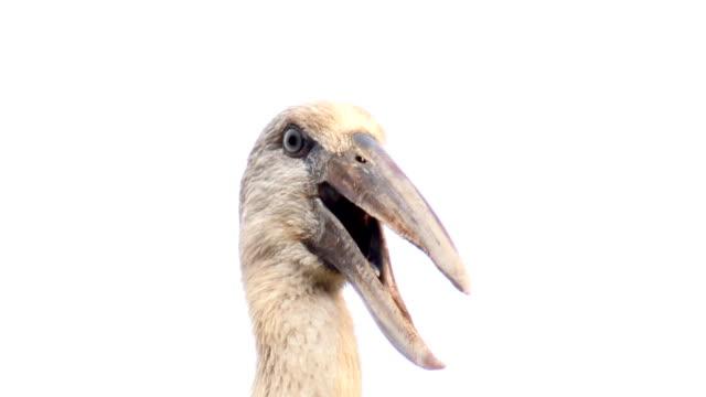 Asian Openbill Stork bird  head video