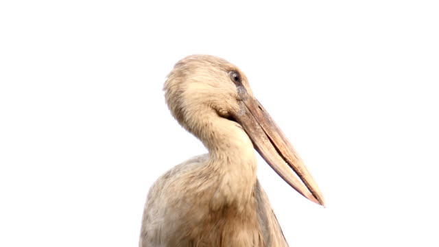 Asian Openbill Stork bird video