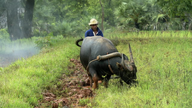 Asian paddy farmer plowing the rice fields the traditional way by his buffalo in preparation for the rainy season Asian paddy farmer plowing the rice fields the traditional way by his buffalo in preparation for the rainy season plowing stock videos & royalty-free footage