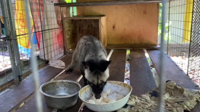 Asian palm civet eating longkong fruits in a cage