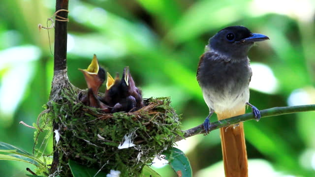 Asian paradise flycatcher feeds its babies video