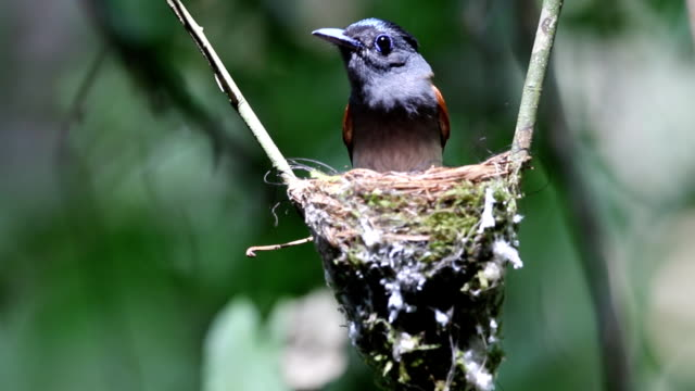 Asian Paradise Flycatcher incubating egg video