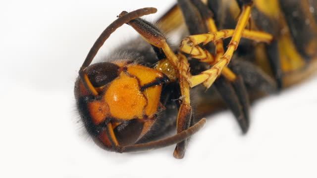 räuberische asiatische hornisse, vespa velutina, insekt vor weißen hintergrund, nahaufnahme von kopf, normandie, real-time 4k - hornisse stock-videos und b-roll-filmmaterial