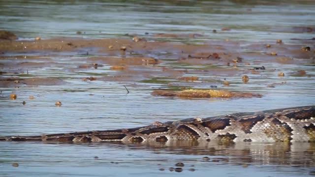 asian python in bardia national park, nepal - park narodowy kanha filmów i materiałów b-roll