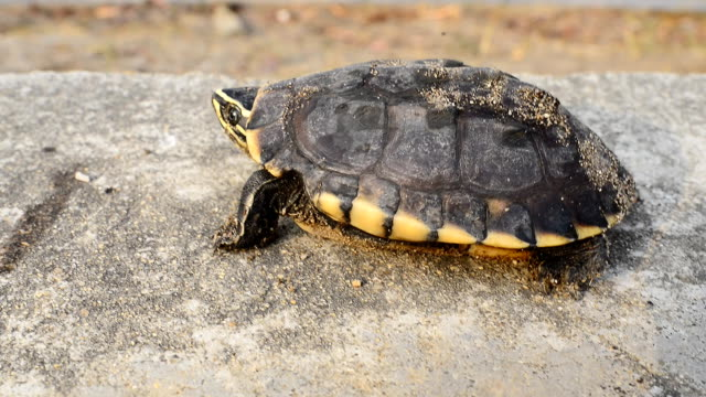 Asian turtle walking and falls down from street video