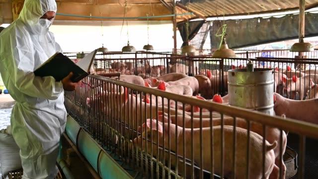 asiatische tierarzt liest der gesundheitsbericht von schweinen in der schweinezucht fabrik - schwein stock-videos und b-roll-filmmaterial