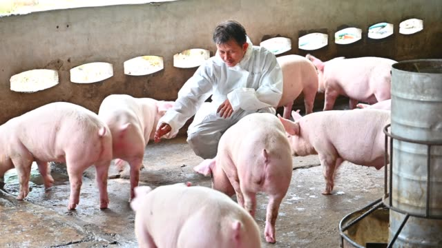 Asian Veterinarian reads the health report of pigs in the pig factory farm