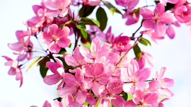 asian wild crabapple tree blossom - brzoskwinia drzewo owocowe filmów i materiałów b-roll