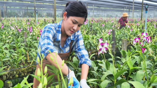 Asian woman are planting orchids in large orchid gardens in Asia.