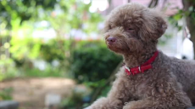 Asian woman hug Miniature Poodle at home video