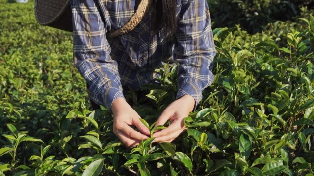 Asian Woman Picking tea leaf in morning at Mae Hong Son Thailand