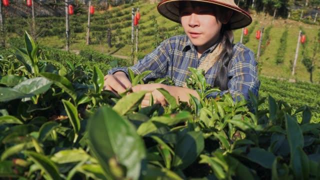 vidéos et rushes de asiatique femme ramasser la feuille de thé matin à thailand mae hong son - thé boisson chaude