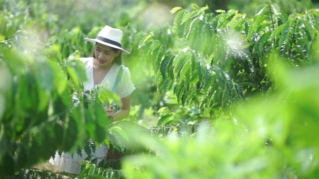Asian woman tourist picking red berries coffee beans on a sunny day.
