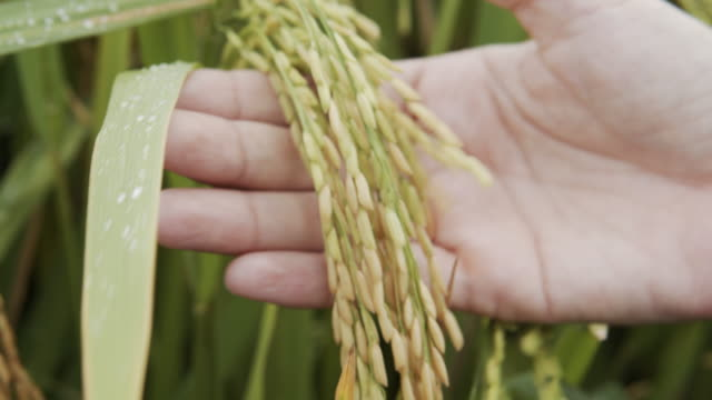 asiatische frau hand berühren der gelben reispflanze - reis grundnahrungsmittel stock-videos und b-roll-filmmaterial