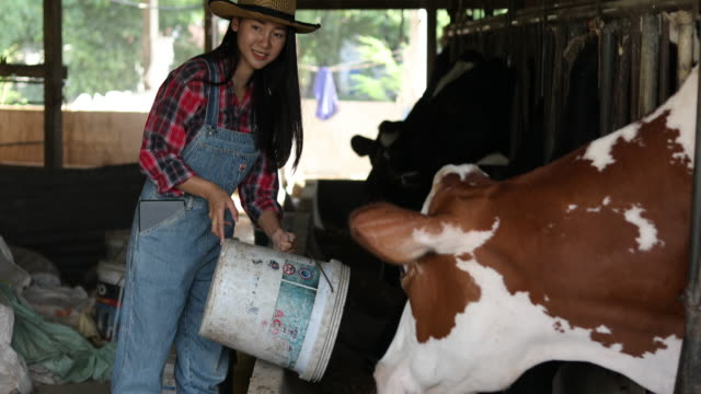Asian women farming and agriculture industry and animal husbandry concept - young women or farmer with tablet pc computer and cows in cowshed on dairy farm with cow milking machines