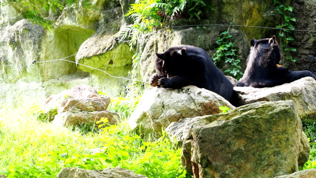 Asiatic black bear resting on rocks and licking feet with another black bear video