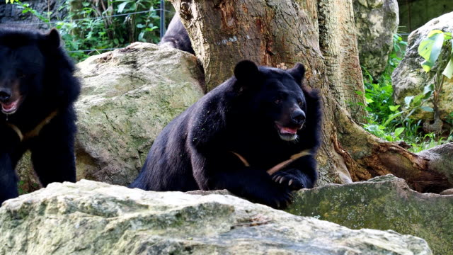 Asiatic black bear resting on rocks cuddling with another black bear video