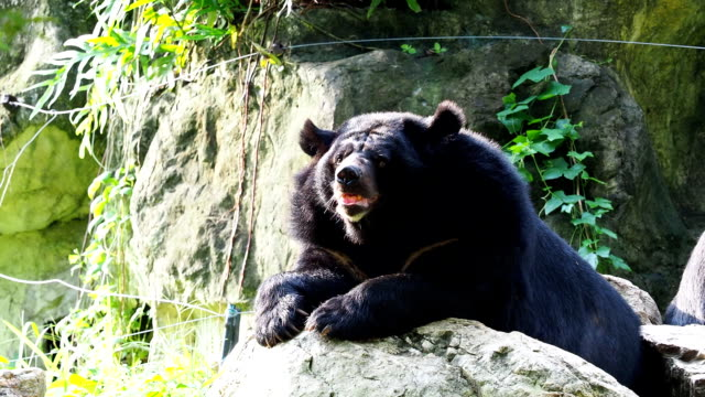 Asiatic black bear resting on rocks in close up video