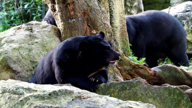 Asiatic black bear resting on rocks with another bear walk in the background video