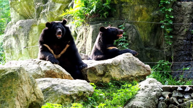 Asiatic black bear resting on rocks with another black bear video