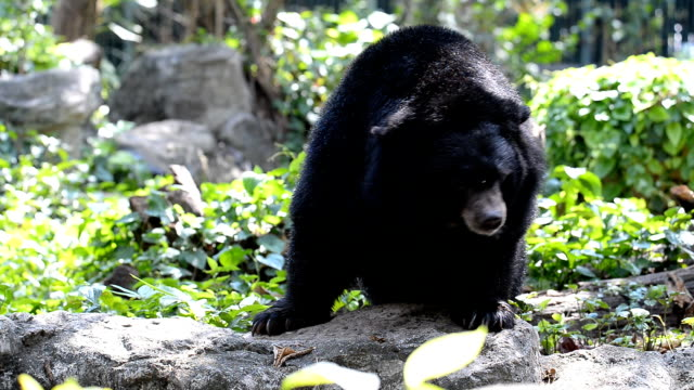 asiatic black bear - bear stock videos and b-roll footage