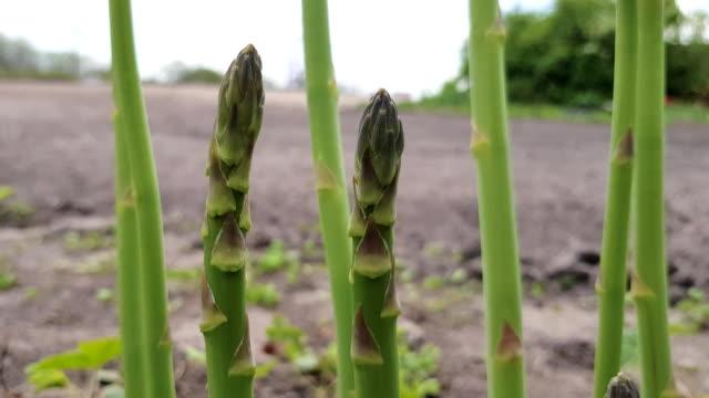 Asparagus grows in the garden