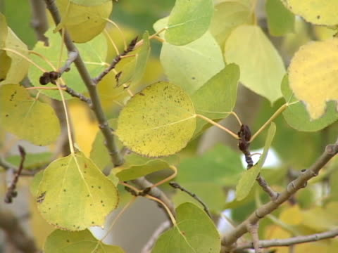 vídeos de stock, filmes e b-roll de folhas de aspen - condado de pitkin